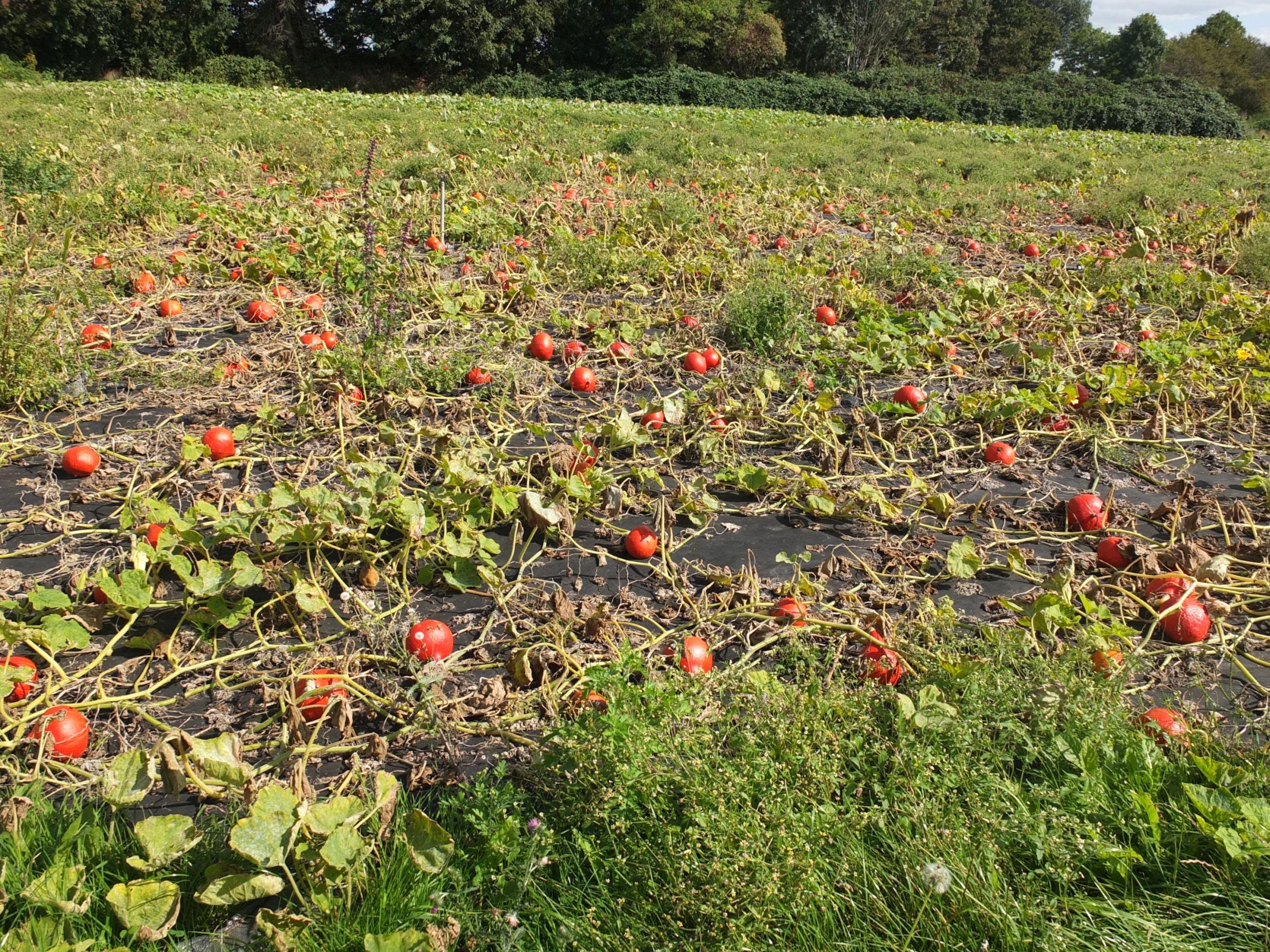 Tomaten auf den Feldern der Werkhof-Gärtnerei