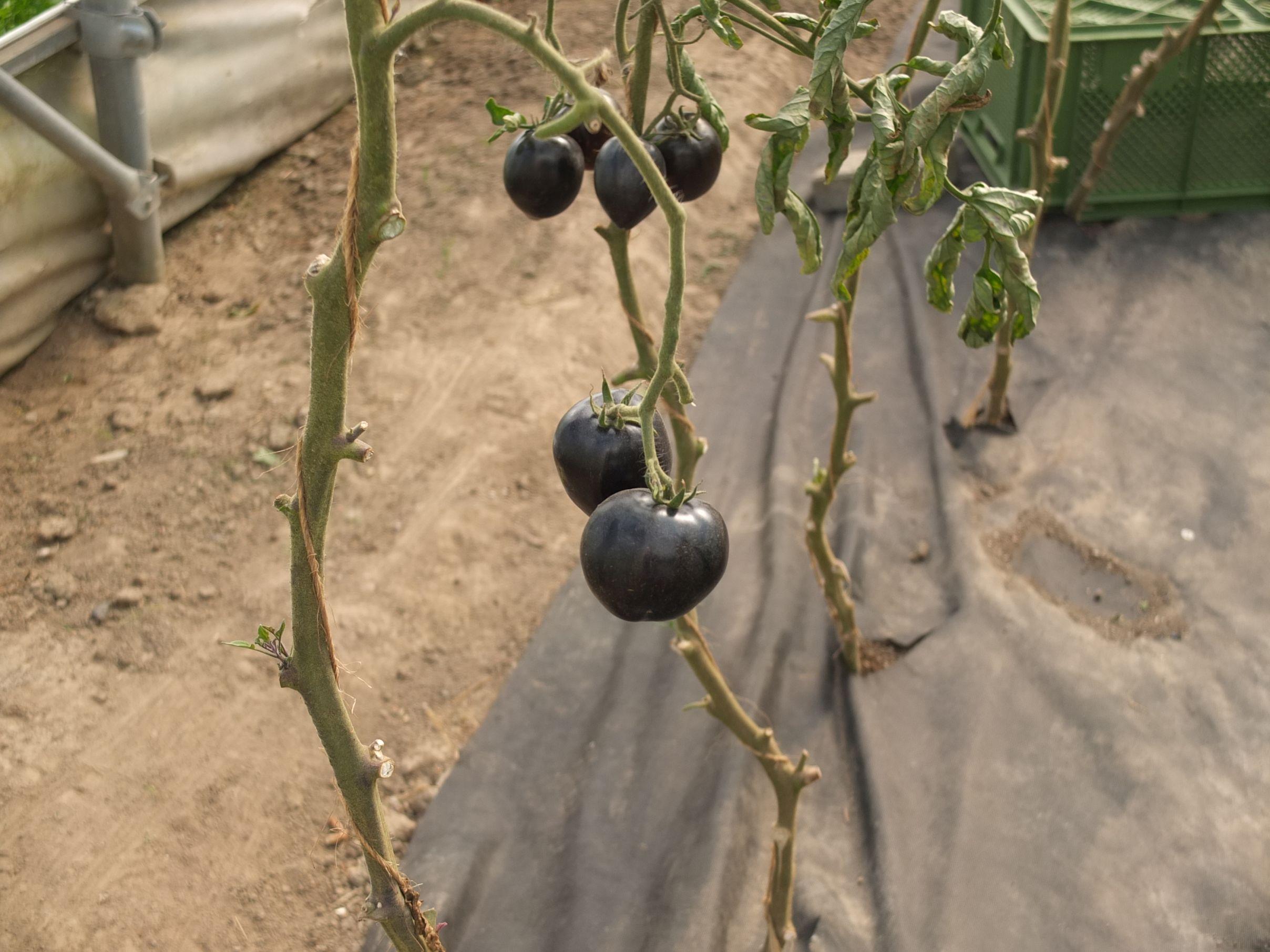 Früchte aus dem Gewächshaus der Werkhof-Gärtnerei